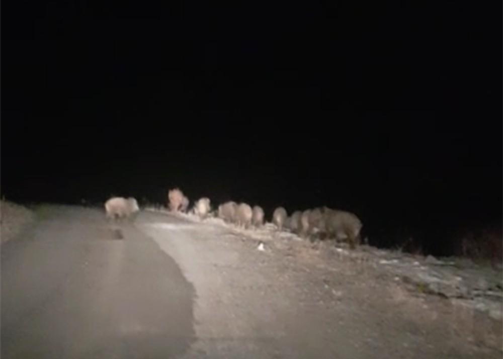 Gece karanlığında karşılarına domuz sürüsü çıktı