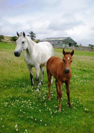 Kingstown Starlet and filly foal by Moy Hazy Cove