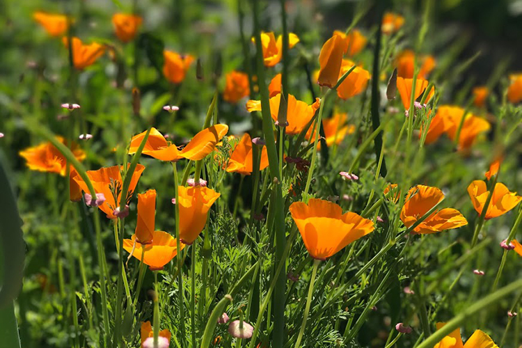 organic garden filled with california poppy in bloom