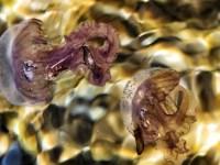 Μωβ μέδουσες «επιτίθενται» στο Αιγαίο: Πού εντοπίζονται και γιατί έχει φέτος τόσα προβλήματα η ελληνική θάλασσα