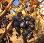 Grapes sun drying on the vine in Sunraysia region