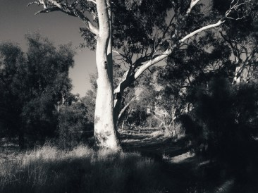 Eucalyptus trees lining dry Todd River bed.