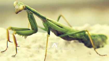 area12design_praying_mantis_2009-1024x576