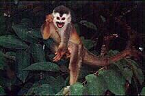 Mono ardilla o falso tití