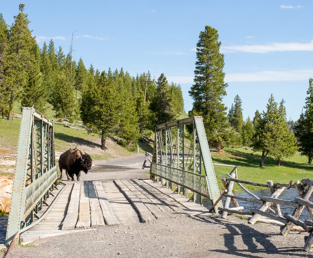 buffalo standing on bridge above river