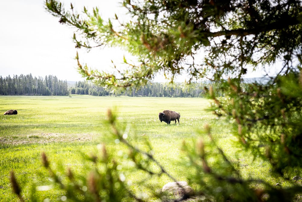 buffalo standing in grass with trees in foreground