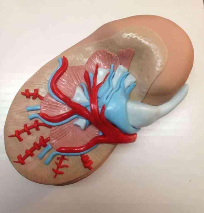 mini-kidney organoids