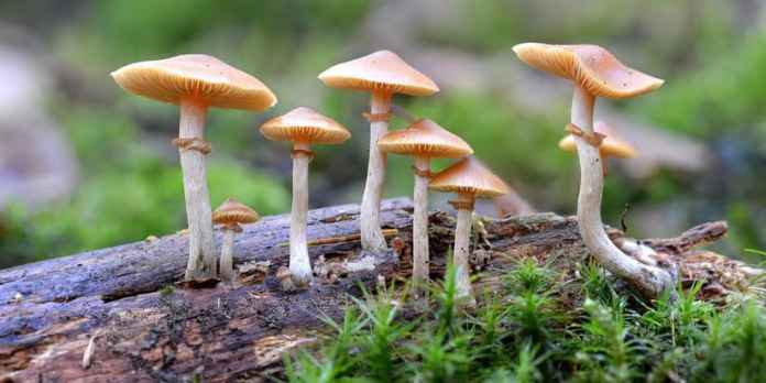 psychoactive compounds in magic mushrooms