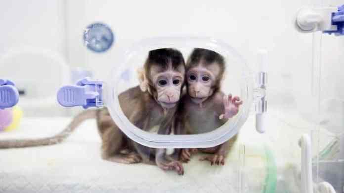 spinonews Clone monkeys using SCNT technique