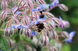 Borage and Bees…© Lisa Cullingworth, 2017