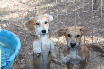"""Puppies pictured above were rescued the day before arriving at """"Chuckling hound."""