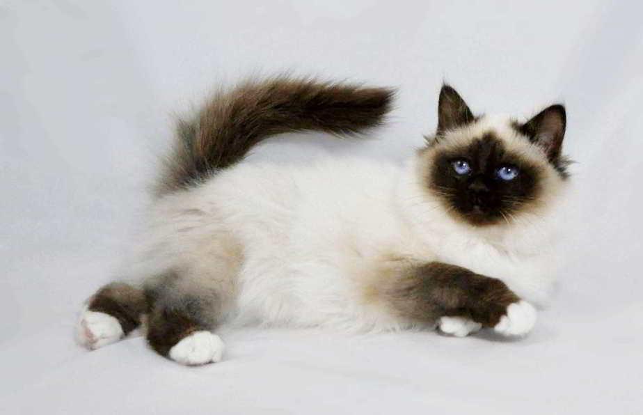 10 Cara Membuat Kucing Betina Mau Kawin  ArenaHewancom