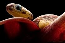 Çiftçilere özel yılan keşfedildi!