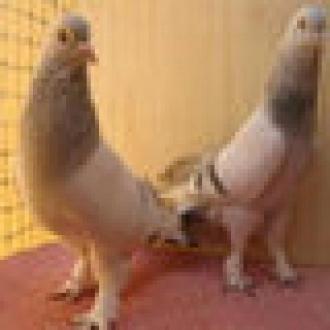 Çakal Güvercinlerin Hazin Sonu