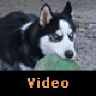 Video: Nintendo Wii Oynayan Köpek