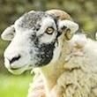 Sony Bu Koyunları Ne Yapacak?