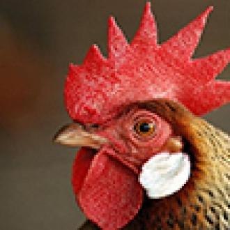 Tavuklar İçin Sanal Gerçeklik Gözlüğü!