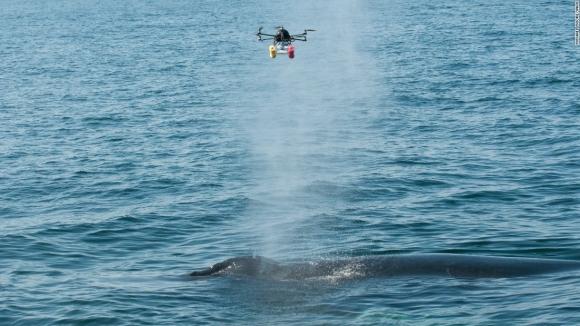 Dronelar Balina Araştırmasında Kullanılıyor