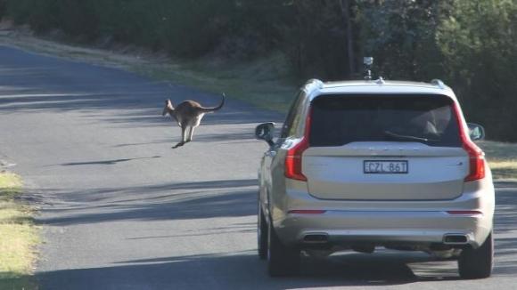 Volvo'nun kangurularla imtihanı!