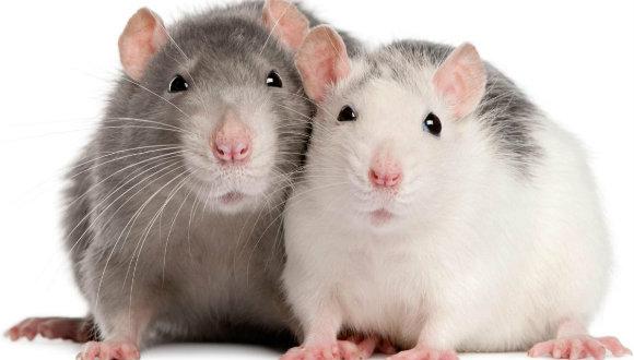 Sıçanlar birbiriyle ticaret yapıyor!