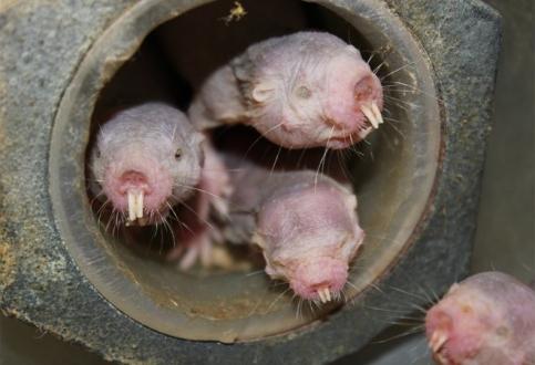 Yaşlanmaya çare farelerde yatıyor olabilir!