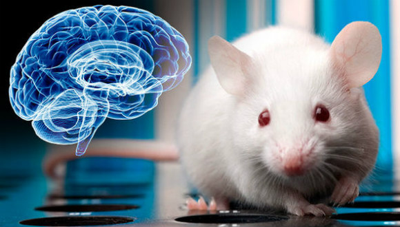 İnsan beyni fareye aktarıldı!