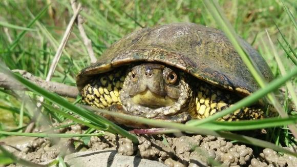 Kaplumbağalar, kendi cinsiyetlerini kendileri belirliyor
