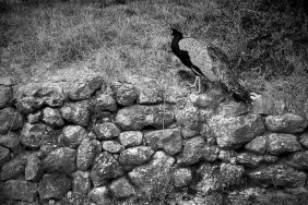Peacock at the Podere Il Casale