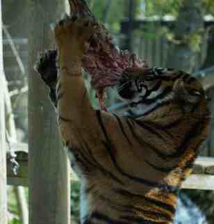 Chessington Tiger
