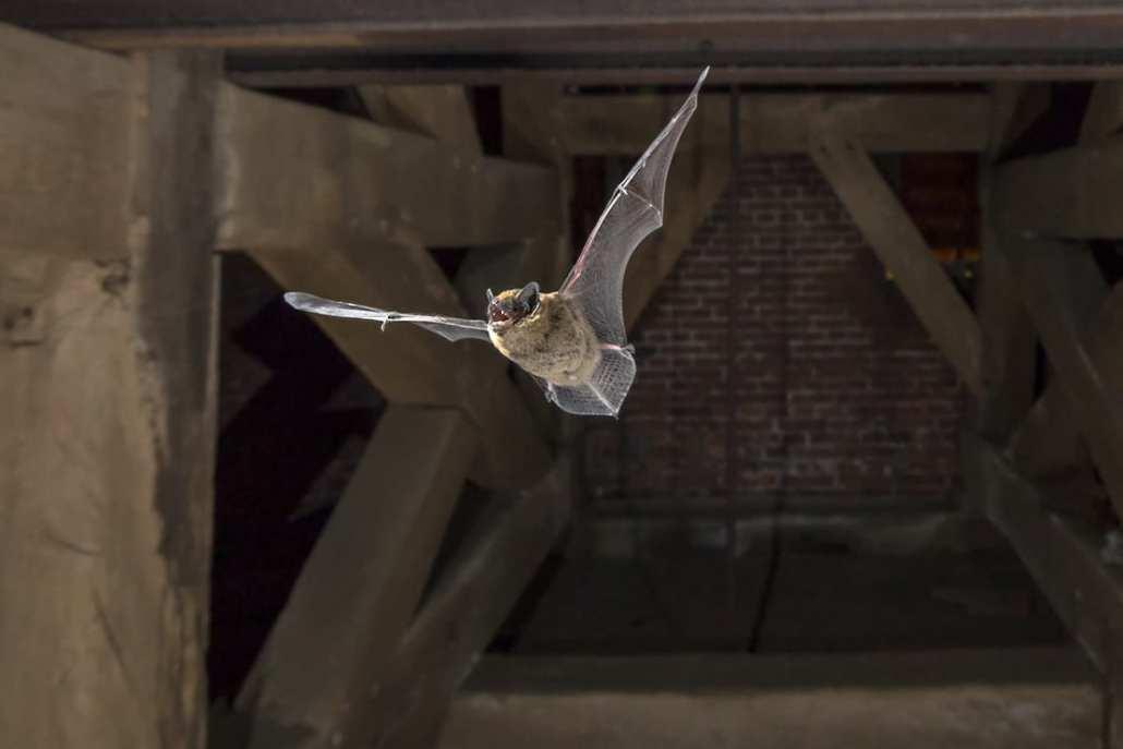 bat flying in belfry