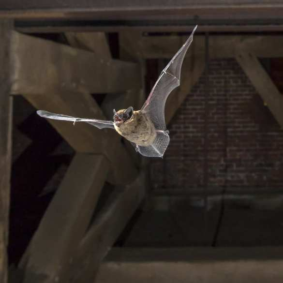 bat flying in belfry