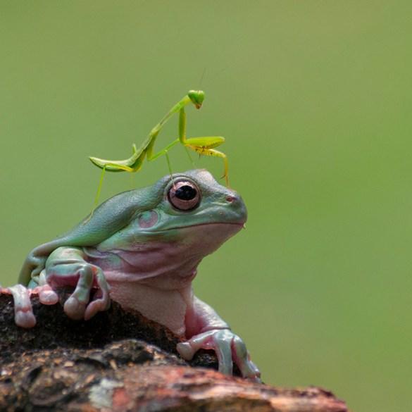 praying mantis on frog head