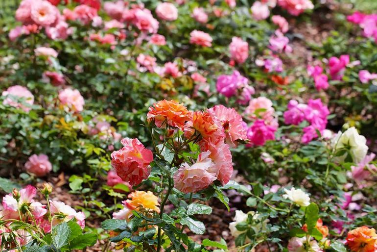 wild rose plants