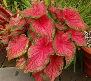 caladium-bicolor