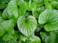 heart-shaped-leaves