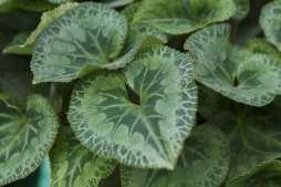 hojas-en-forma-de-corazon