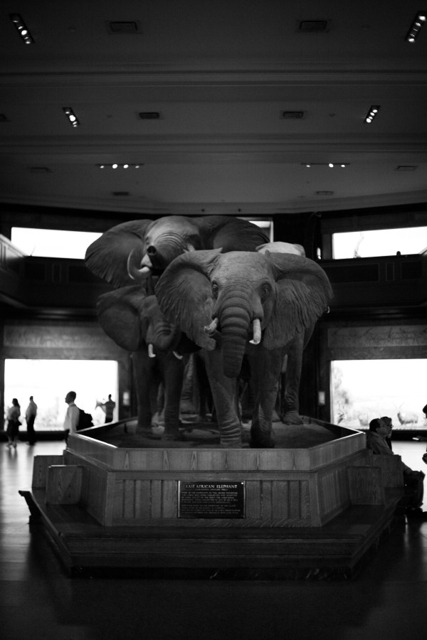 American Museum of Natural History Elephants