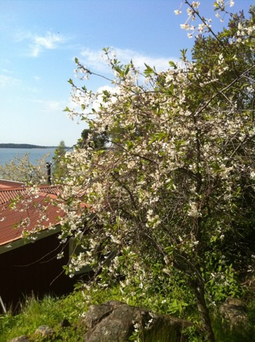 blommande körsbärsträd, vita blommor på lantstället. Firar två år med bloggen.