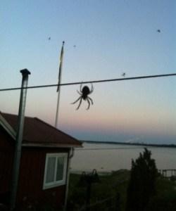 Stor spindel i Sverige