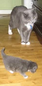 Grå katt och grå kattunge. Min luddskalle skapade en liten kopia. Mina kattungar!