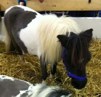 Shetlandsponny, häst