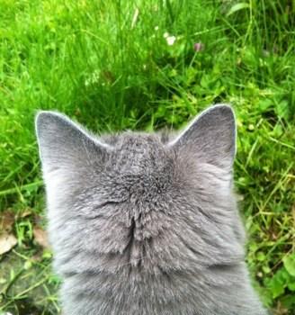 Söt grå katt på upptäcksfärd i gräset! En logistisk mardröm att flytta dem. Orkade inte åka.