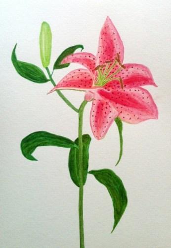 Akvarell, lilja