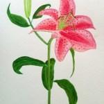 Akvarell: Lilja