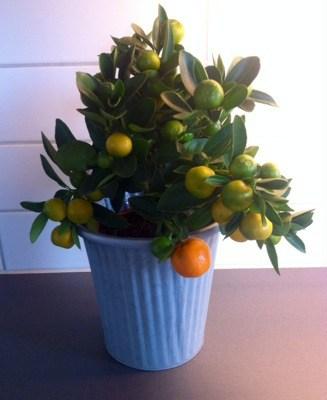 Citrusväxt Calamondin, citrusplanta med små gröna och orangea frukter. Söndagmiddag och döda växter.