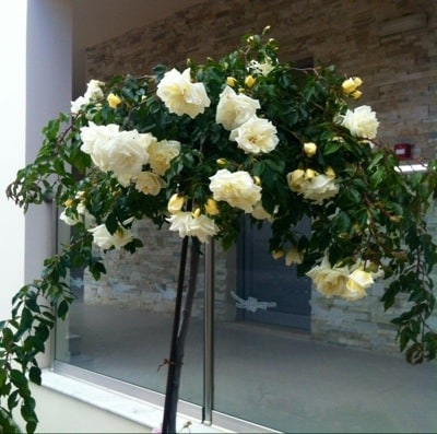 Rosor. Blommor pa Rhodos