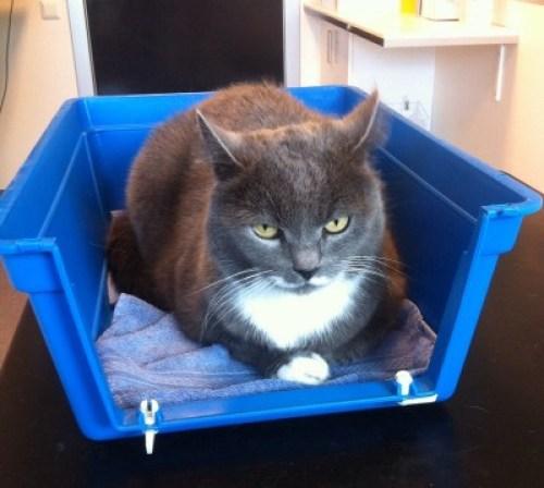 Grå katt i bur hos veterinären