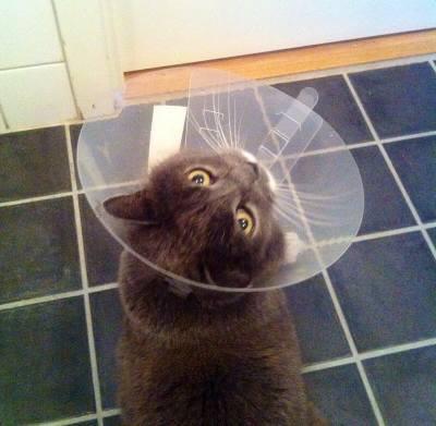Söt grå katt med tratt efter veterinärbesök. Lyfta