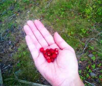En handfull smultron