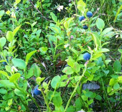 Blåbärsris, blåbär. Skakis i benen efter bärplockning!